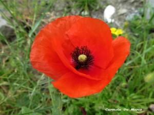 fiori di campo 062 copia